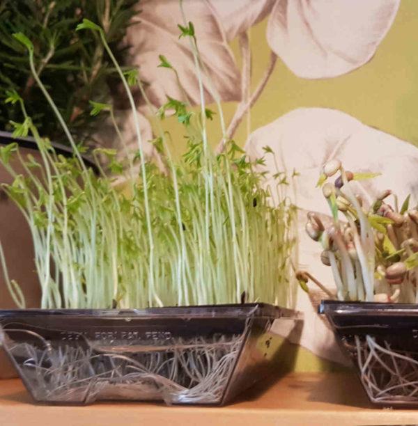 Microgreens und Sprossen selber züchten
